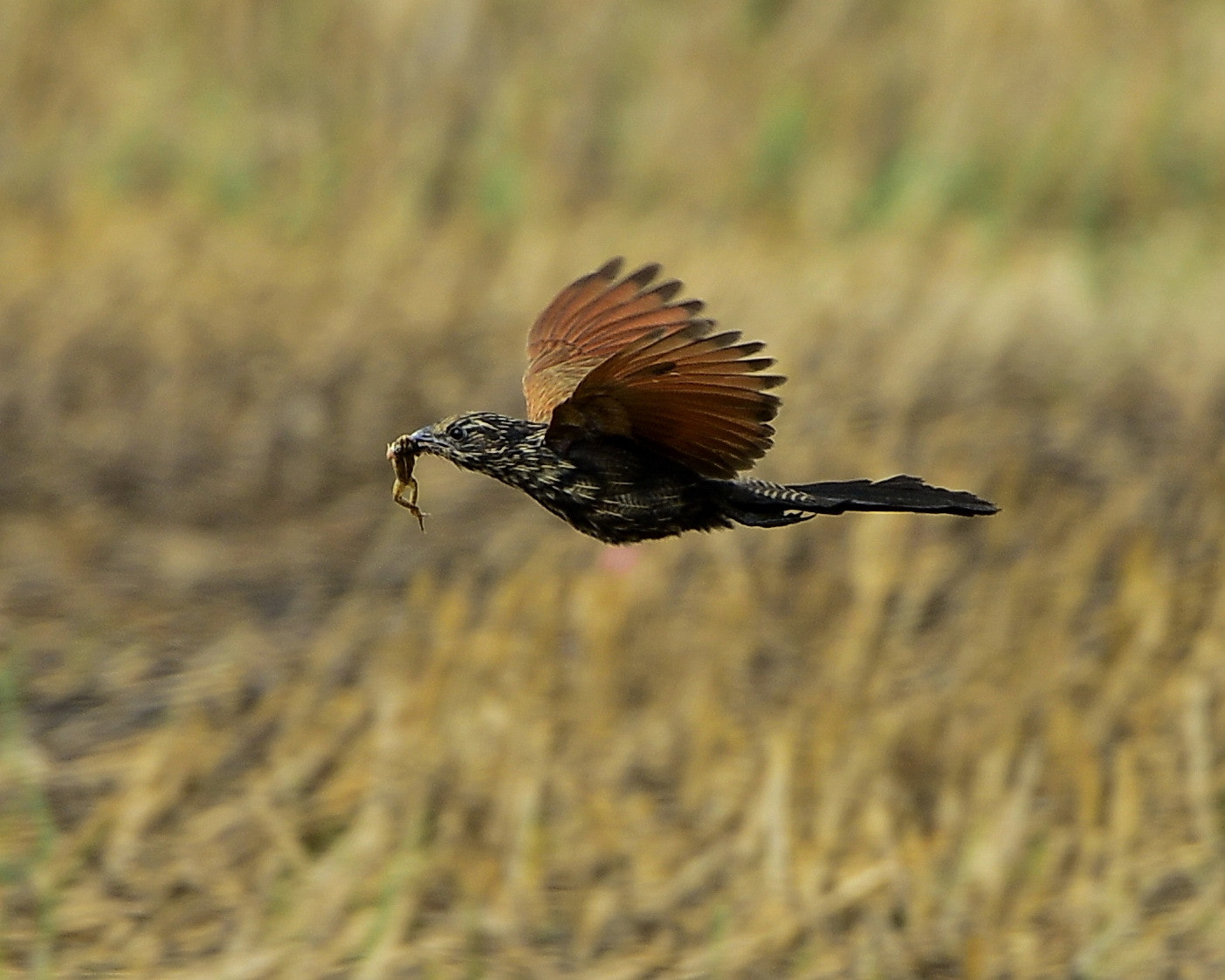 Photograph Lesser Coucal inflight with food by Eugene Cheah on 500px