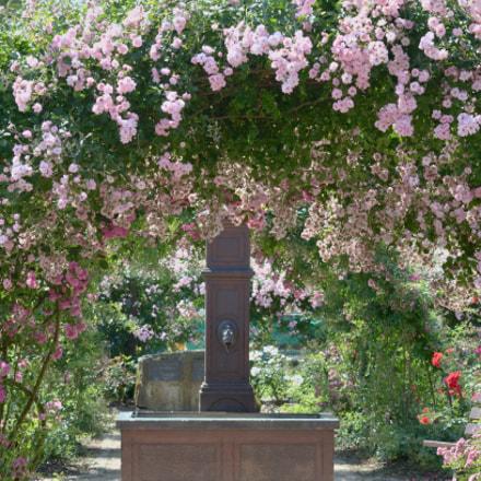 Rose Garden, Nikon D7100, AF Micro-Nikkor 60mm f/2.8D