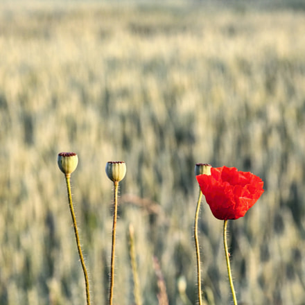 time for poppy, Canon EOS 60D, Canon EF 28-105mm f/3.5-4.5 USM