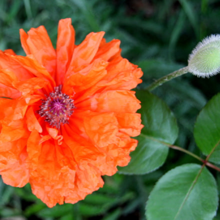 The poppy in the, Canon EOS 700D