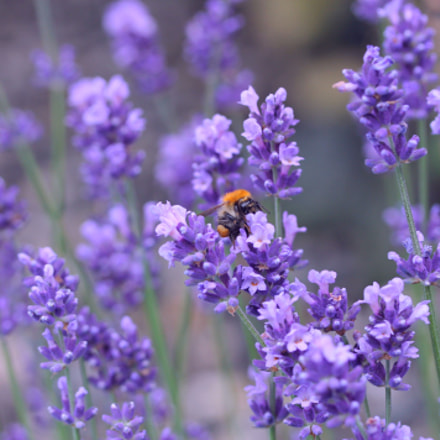 Lavender notes, Canon EOS 1100D, Canon EF-S 60mm f/2.8 Macro USM