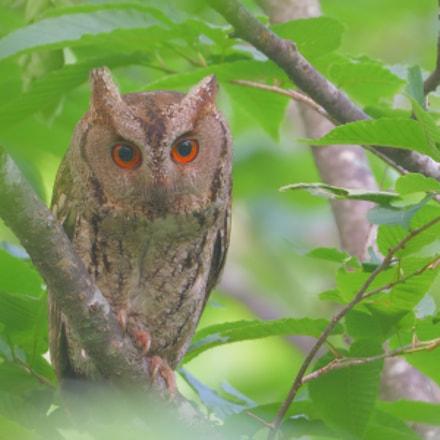 Sunda Scops-owl, Nikon D850