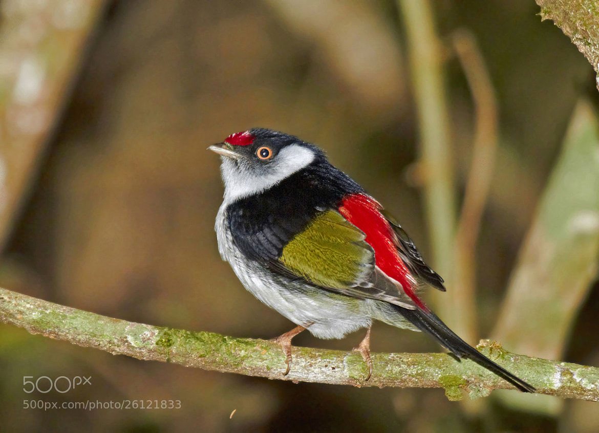 Photograph tangarazinho (Ilicura militaris)  Pin-tailed Manakin by Claudio Lopes on 500px