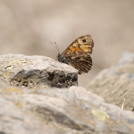 Butterfly, Canon EOS 2000D