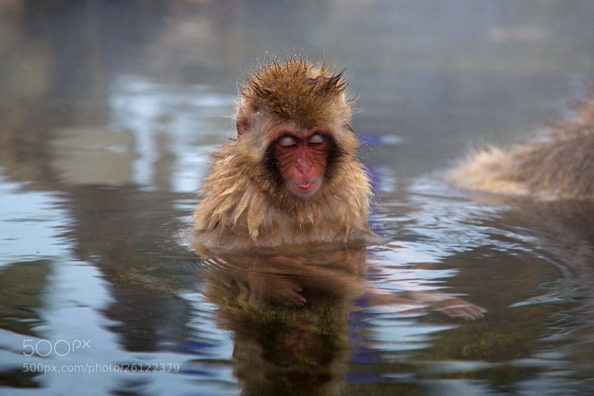 Photograph Snow monkey by Akiko F on 500px