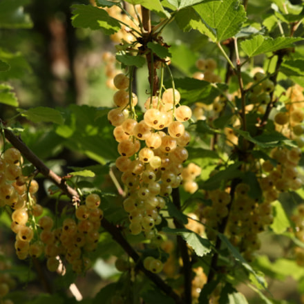 White Currant, Canon EOS 5D, Canon EF 24-105mm f/3.5-5.6 IS STM