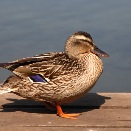 Young Duck, Canon EOS 5D, Canon EF 24-105mm f/3.5-5.6 IS STM