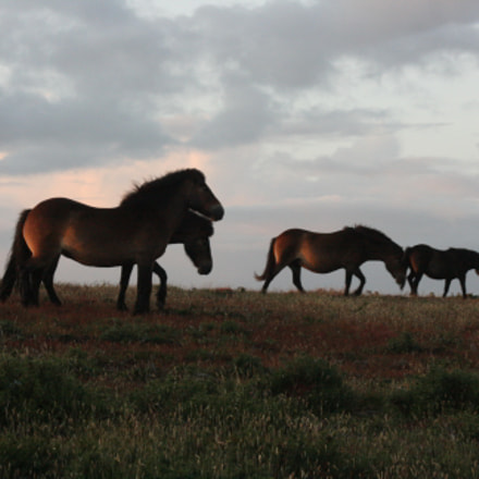 exmoore ponies, Canon EOS 400D DIGITAL