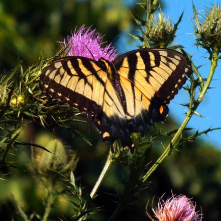 Eastern Tiger Swallowtail, Fujifilm FinePix HS35EXR
