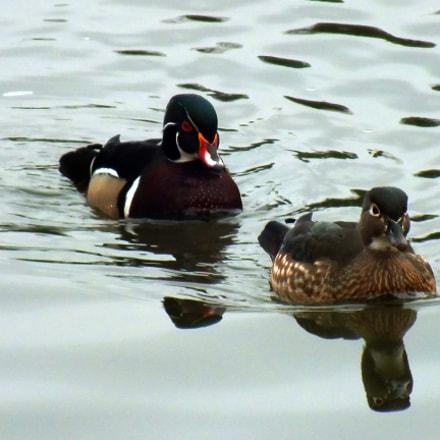 Wood Ducks, Fujifilm FinePix HS35EXR