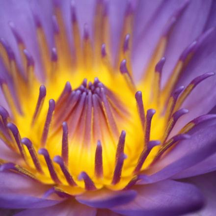 Lotus, Canon EOS 500D, Sigma 70-300mm f/4-5.6 [APO] DG Macro