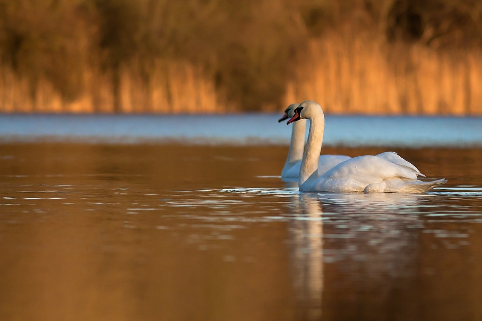 Photograph Mute Swan by Eike Wolff on 500px