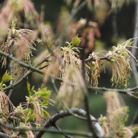 maple flowers, Fujifilm FinePix HS50EXR