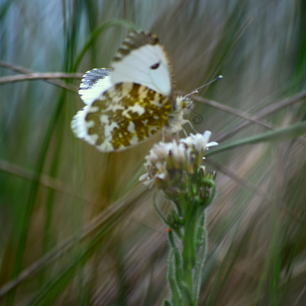 butterfly, Nikon D7200, AF-S DX VR Zoom-Nikkor 55-200mm f/4-5.6G IF-ED