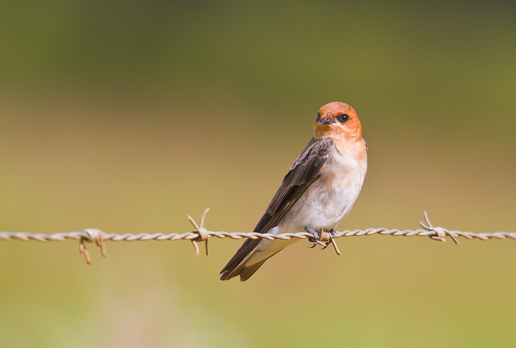 Photograph Tawny-headed Swallow (Alopochelidon fucata) by Bertrando Campos on 500px