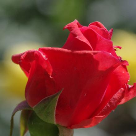 Red Rose, RICOH PENTAX K-3 II, smc PENTAX-D FA Macro 100mm F2.8 WR