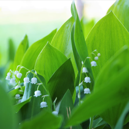 Lily of the valley, RICOH PENTAX K-1, HD PENTAX-D FA 28-105mm F3.5-5.6 ED DC WR