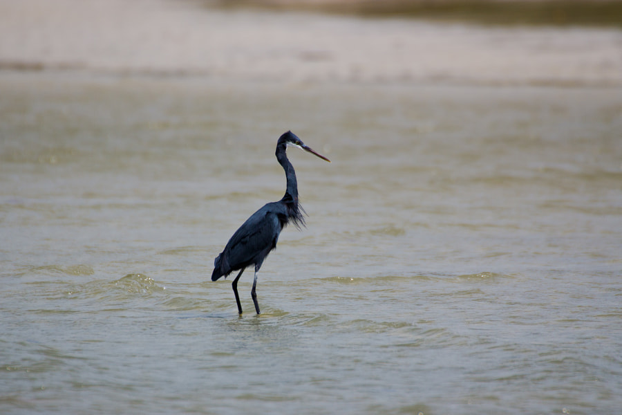 A Western Reef Heron spots something in the water and raises itself up, from its customary huddle, to full height - Guinea Bissau  The Western Reef Heron has two plumage colour forms. There is an all-white morph and a dark grey morph; morphs can also occur with intermediate shades of grey which may be related to age or particoloured in grey and white.  It occurs mainly on the coasts in tropical west Africa, the Red Sea, the Persian Gulf (Iran) extending east to India.