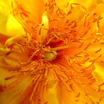 Yellow flower, Panasonic DMC-FZ50