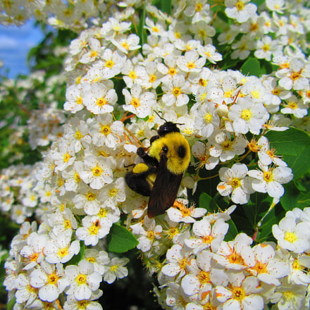 Bee on Flowers, Canon POWERSHOT SX610 HS