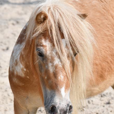 Pony Oskar, Nikon D500, Tamron SP 70-300mm f/4-5.6 Di VC USD (A005)