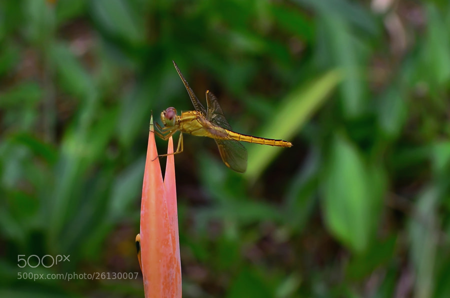 Photograph Golden Dragonfly - 2 by Khoo Boo Chuan on 500px
