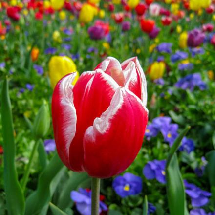 Tulips, Canon DIGITAL IXUS 80 IS