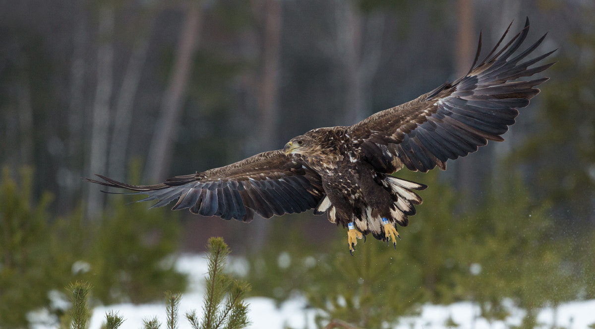 Photograph White-tailed Eagle in flight by Lauri Tammik on 500px