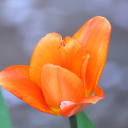 Lilly flower., Canon EOS REBEL T4I, Canon EF-S 55-250mm f/4-5.6 IS II