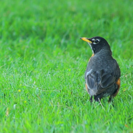 Beautiful American Robin, Canon EOS 5D, Canon EF 70-300mm f/4-5.6 IS USM