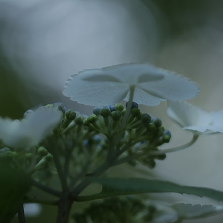 (Hydrangea), Canon EOS 80D, Sigma 105mm f/2.8 EX DG OS HSM Macro