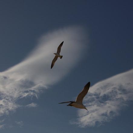seagulls, Canon EOS 5DS R, Canon EF 24-70mm f/2.8L II USM