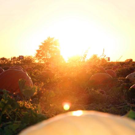 Pumpkin patch, Canon EOS 60D, Tamron 16-300mm f/3.5-6.3 Di II VC PZD Macro