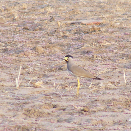 Yellow wattled lapwing, Fujifilm FinePix S5700 S700