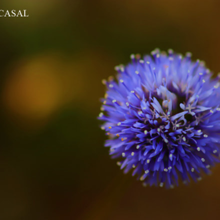 Globularia, Canon EOS 80D, Sigma 105mm f/2.8 Macro EX