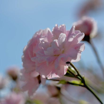 Pink rose, Nikon D7100, AF Micro-Nikkor 60mm f/2.8D