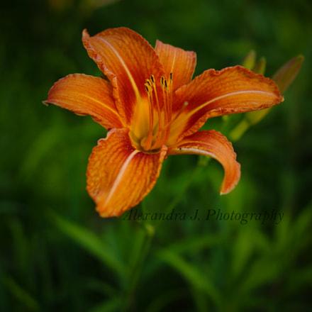 Lily, Pentax K10D, smc PENTAX-DA 35mm F2.4 AL