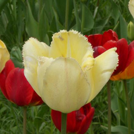 White tulip, Nikon COOLPIX S3100