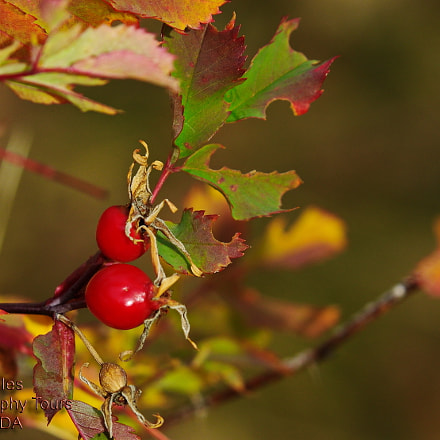 Rose Hip Autumn, Pentax K-5 II S, smc PENTAX-DA* 60-250mm F4 [IF] SDM
