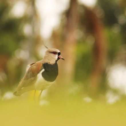 Southern Lapwing, Canon EOS REBEL T3, Canon EF 75-300mm f/4-5.6 USM