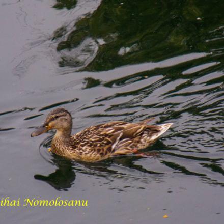 Duckling, Nikon COOLPIX L320