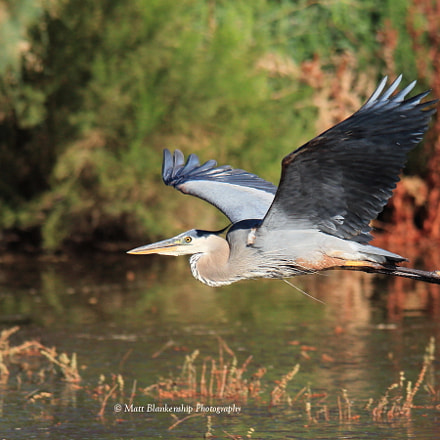 Great blue heron flyby., Canon EOS 70D