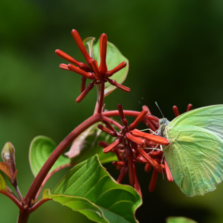 Butterfly, Nikon D7200