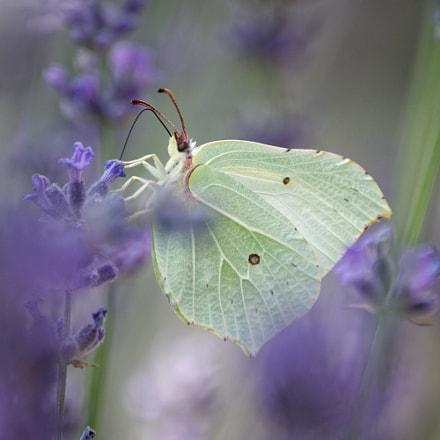 Butterfly hiding in Lavender, Nikon D90, AF-S DX Zoom-Nikkor 55-200mm f/4-5.6G ED