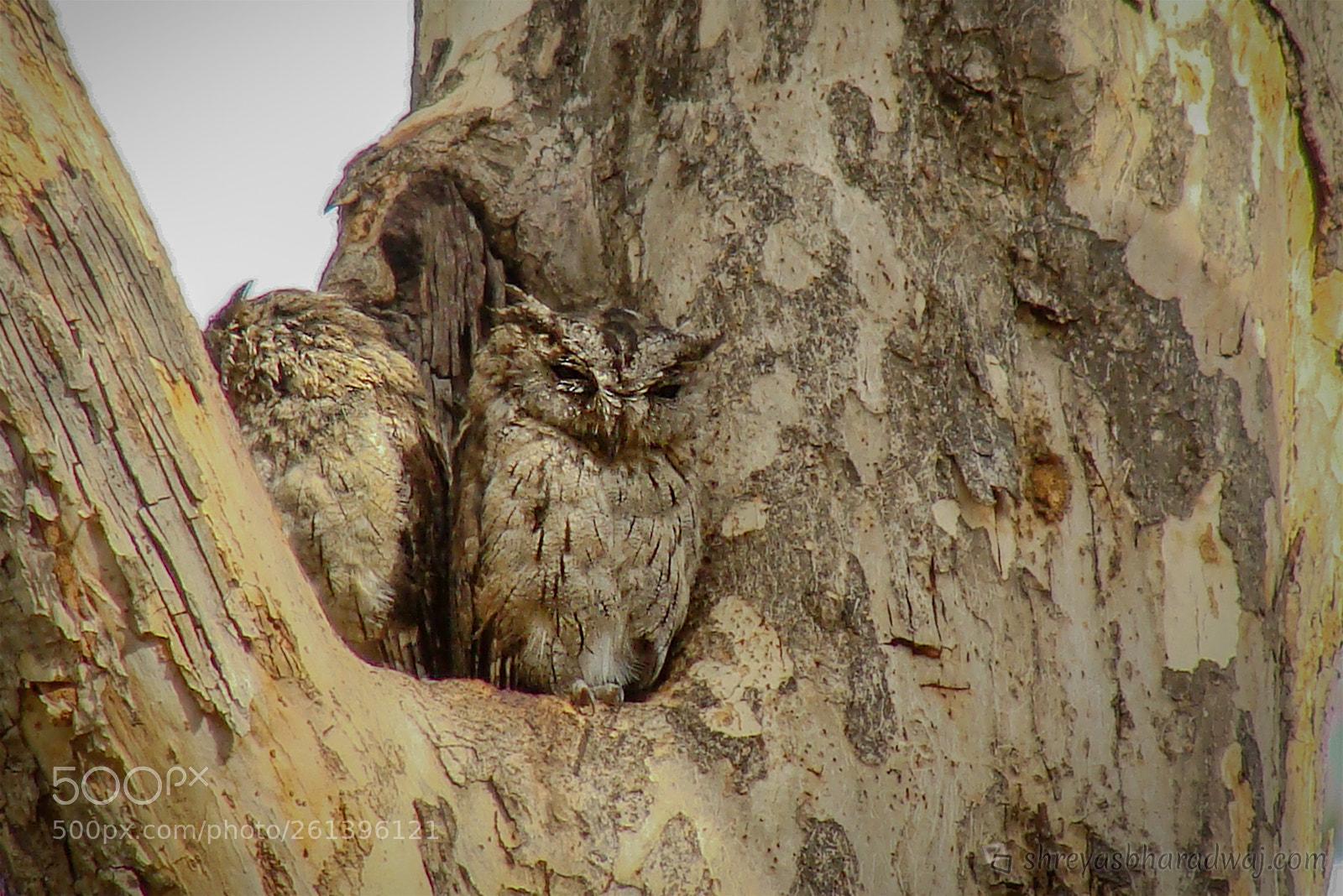 Indian Scops Owl, Sony DSC-H10