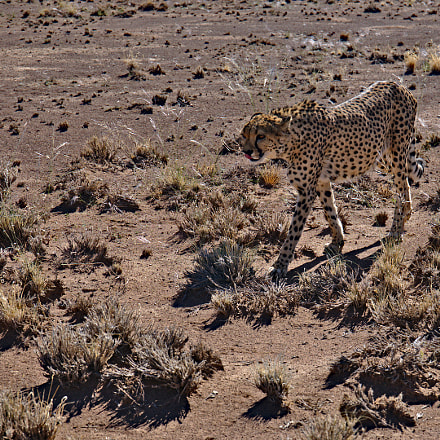 Gepard, Namibia, Canon EOS 5D MARK IV, Canon EF 24-70mm f/4L IS USM