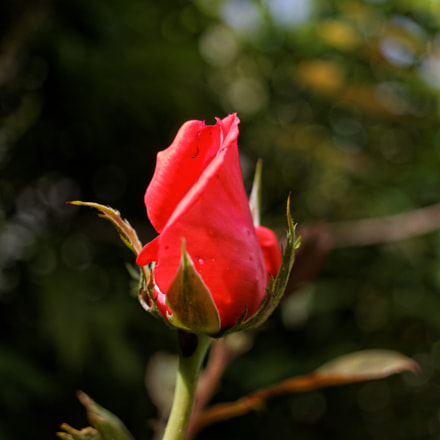 Rose, Canon EOS 1100D, Canon EF-S 24mm f/2.8 STM