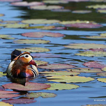 duck, Canon EOS 80D, Canon EF70-300mm f/4-5.6 IS II USM