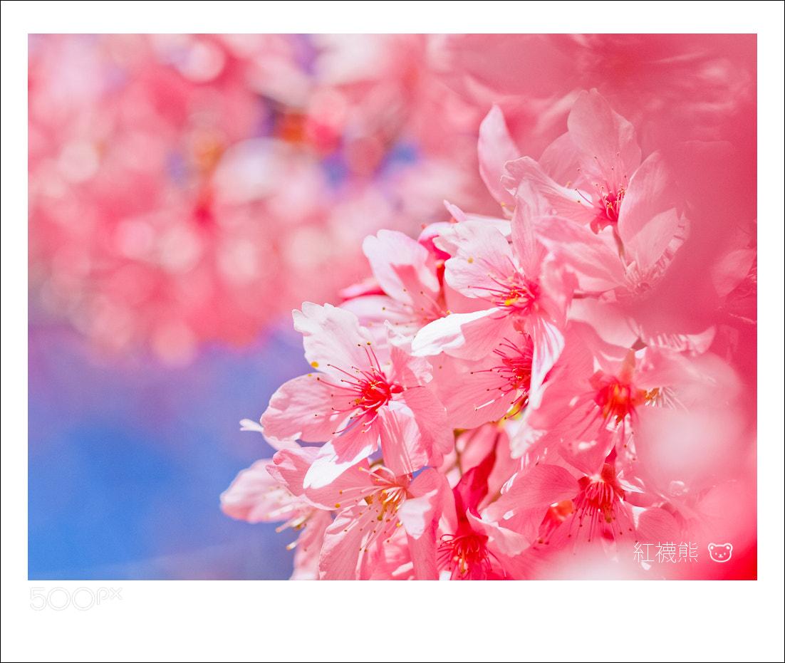 Photograph Sakura by Kyle Lin on 500px