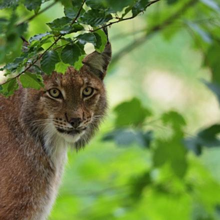 lynx lynx, Nikon D750